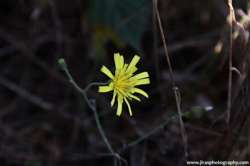 Žlutý květ 2015