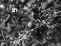 Trnky bobulky prosinec 2014 (2)