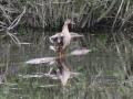 Kachna divoká (2)
