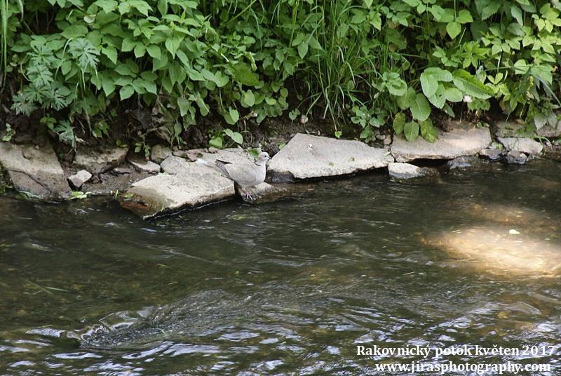 Rakovnický potok, Pustověty Tomáš Jiras (4)