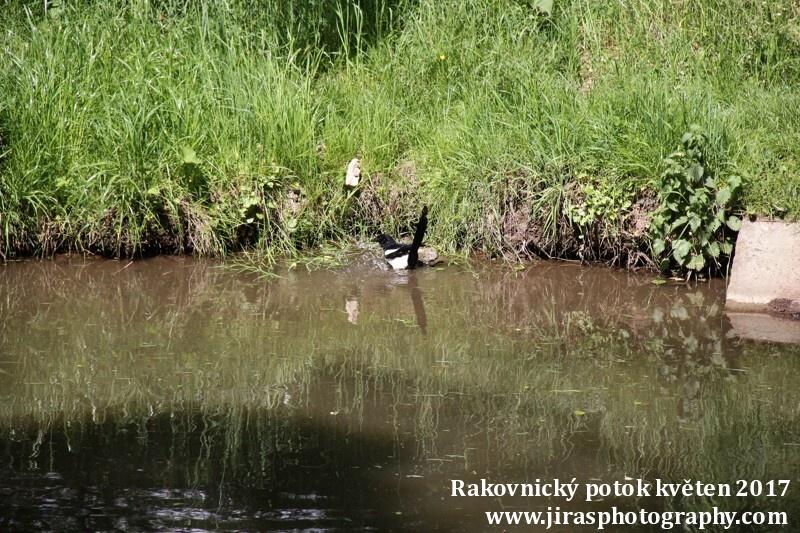 Rakovnický potok, Pustověty Tomáš Jiras (75)